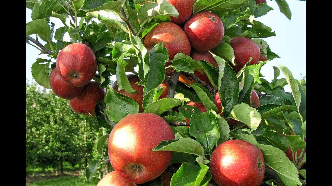 Im Alten Land werden pro Jahr rund 300 000 Tonnen feinster Äpfel geerntet.