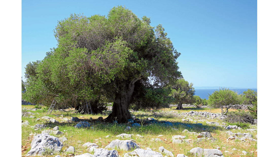 Luner Olivengaerten an der Inselnordspitze.