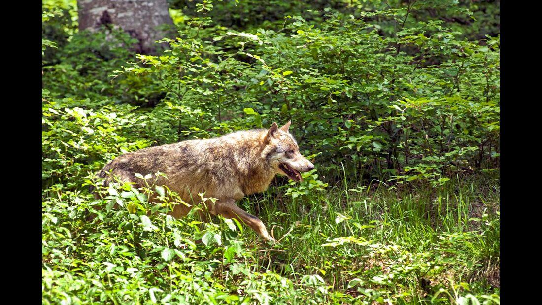 Wolf im Unterholz